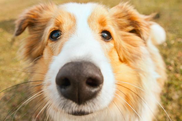 sniffing_dog